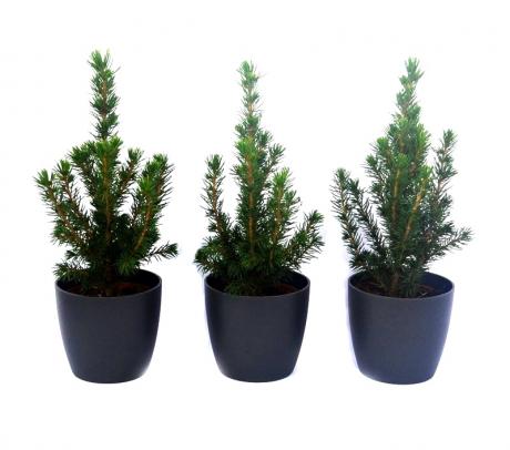 Molid conic pitic 25+ cm (Picea glauca Conica) - brazi de vanzare