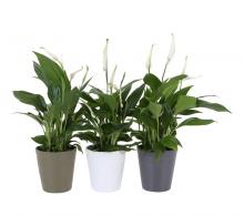 Comanda Spathiphyllum wallisii (crinul paci) - flori de apartament devanzare