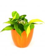 Comanda Filodendron (Philodendron scandens) - plante care purifica aerul de vanzare la pret avantajos