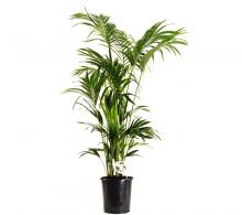 Comanda palmier Howea (Howea forsteriana) - palmier de interior
