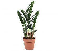 Comanda Zamioculcas (Zamioculcas zamiifolia)