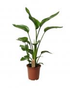 Comanda Strelitzia nicolai - flori exotice de interior, de vanzare
