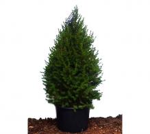 Comanda Molid conic pitic 150 cm ( Picea glauca Conica)