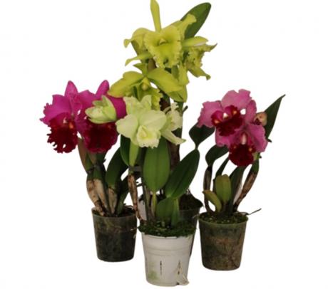 Orhidee Cattleya - Cattleya de vanzare la pret avantajos
