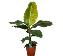 Comanda  Bananier de interior (Musa 'Dwarf Cavendish') - bananier de vanzare
