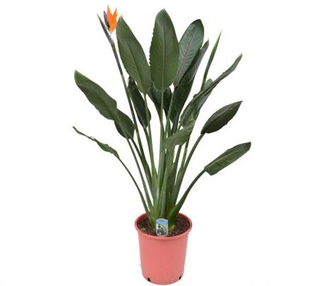 Comanda Strelitzia reginae (Pasarea Paradisului) H 120 cm - flori exotice de vanzare