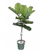 Comanda Ficus lyrata (Falsul smochin, smochinul lira) - plante de vanzare la pret avantajos