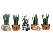 Comanda plante suculente cu ghiveci ceramic - Suculente de interios