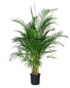 Comanda Pamier Areca 180 cm (Chrysalidocarpus lutescens) - Areca de vanzare