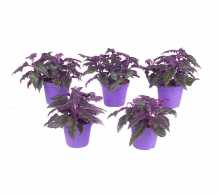 Comanda Planta cu frunze de catifea, Ginura (Gynura aurantiaca) - Ginura de vanzare