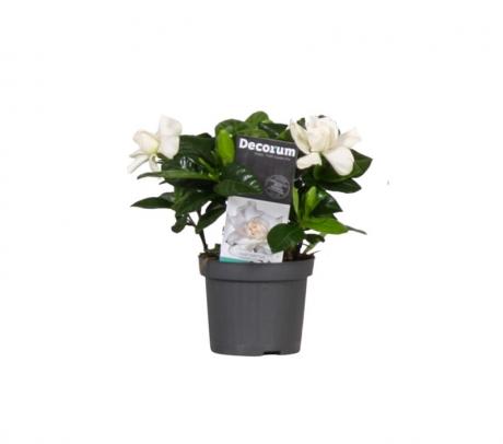 Comanda Gardenia jasminioides mini - Gardenia de vanzare