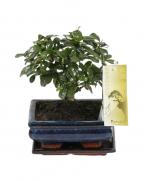Comanda Bonsai Carmona microphylla (Bonsai cu flori) - Carmonda de vanzare