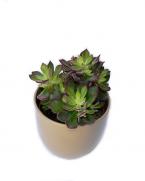 Comanda Echeveria pulvinata  - cactusi si plante suculente