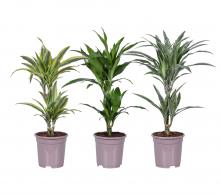 Comanda Dracaena fragrans Mix  - Plante de apartament, Plante office