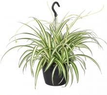 Comanda planta care purifica aerul Chlorophytum comosum (voalul miresei)