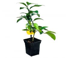 Comanda citrice mix - Citrus mix - flori de apartament