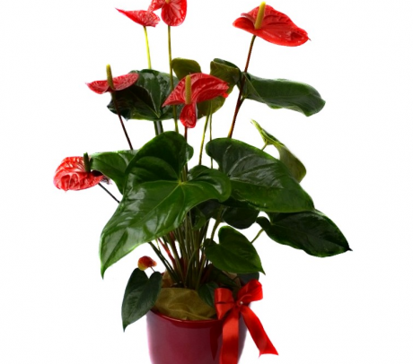 Aranjament Anthurium cu ghiveci decorativ