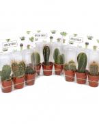 Comanda Cactusi la set - Plante suculente si cactusi de vanzare la pret avantajos