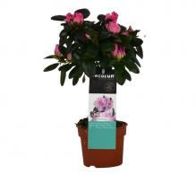 Comanda Azalee mica pe tulpina (Rhododendron simsii) - flori de apartament de vanzare