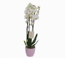 Comanda Orhidee Phalaenopsis cu 3 tije florale