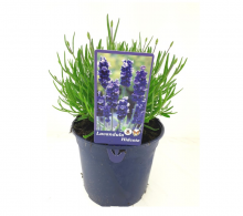 Lavandula angustifolia `Munstead (lanvanda englezeasca) - de vanzare, pret special
