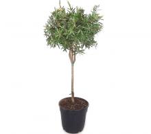 Comanda Calistemon (Callistemon citrinus) pe trunchi - Plante decorative de vanzare