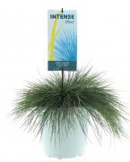 Comanda Festuca glauca (Iarba albastra) - iarba decorativa de vanzare