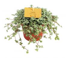 Comanda Pilea (Pilea glauca sau Pilea glaucophylla) - flori de apartament de vanzare