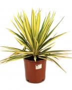 Comanda Yucca de gradina (Yucca filamentosa) - Plante de gradina de vanzare