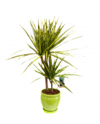 Dracaena cu 2 tulpini - plante de interior