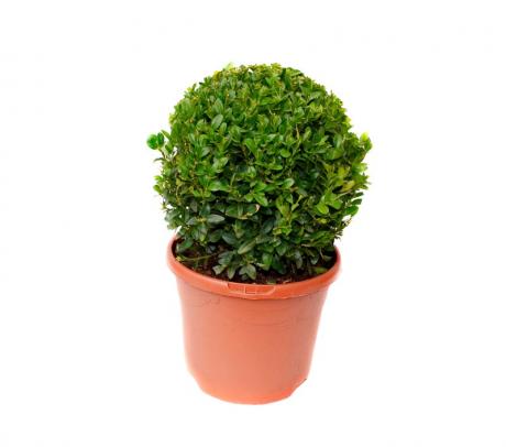 Comanda buxus - glob 30 cm - plante de gradina