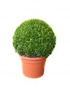 Buxus sempervirens glob  - plante de gradina - plante pentru gard viu