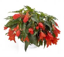 Comanda Begonia curgatoare (Begonia pendula) - Plante de balcon de vanzare, pret avantajos