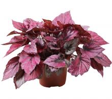 Comanda Begonia rex P 17 cm - Begonia de vanzare