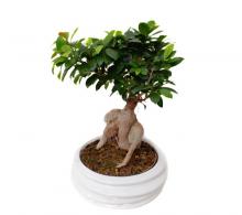 Comanda Ficus mi. Ginseng Bonsai - Ficus microcarpa Ginseng de vanzare