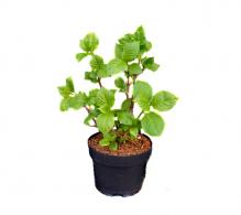 Comanda Hortensia la ghiveci (Hydrangea macrophylla) - Hortensia de gradina de vanzare, pret avantajos