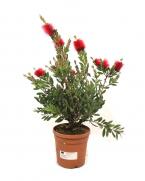 Comanda Calistemon cu flori (Callistemon citrinus) - Calisemon de vanzare, pret avanajos