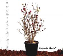 Comanda Magnolii H 150-180 cm (Magnolii 'Genie' - 'Susan' -  'Manchu Fan' )  - Magnolia de vanzare, pret avantajos
