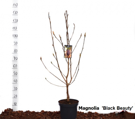 Comanda Magnolii H 125-150 cm (Magnolii 'Genie' si 'Black Beauty')  - Magnolia de vanzare, pret avantajos