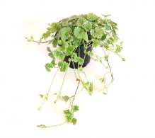 Comanda Nepeta (Glechoma hederacea) - Nepeta variegata de vanzare, pret avantajos