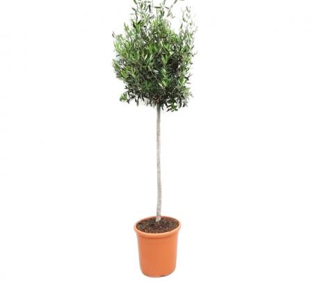 Comanda Maslin la ghiveci (Olea europaea H 150 cm) - Maslini de vanzare