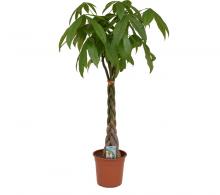 Comanda Arborele banilor, Pachira aquatica - Arborele banilor H 150 cm