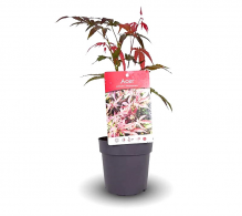 Comanda artar japonez pitic (Acer palmatum atropurpureum) - Artar japonez de vanzare