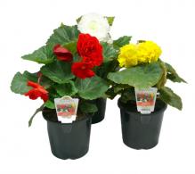 Comanda Begonia tuberhybrida (Begonie tuberoasa) - Begonie de vanzare, pret avantajos
