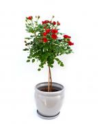 Comanda Trandafir pe picior - Plante de gradina