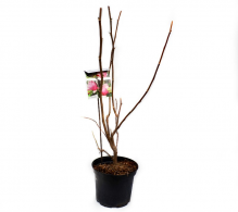 Comanda Magnolia soulangeana 'Lennei'