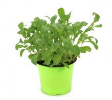 Comanda rucola la ghiveci (Diplotaxis tenuifolia) - Rucola la ghiveci de vanzare, pret avantajos.