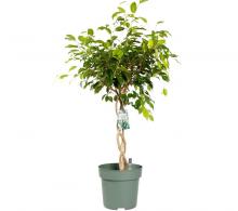 Comanda Ficus benjamina cu tulpina impletita H 100 cm - Ficus de vanzare, pret avantajos.
