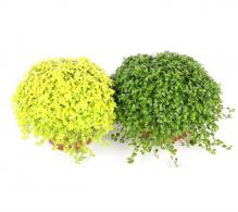 Comanda Soleirolia soleirolii (Soleirolia mini) - Salteluţa de vazare, pret avantajos