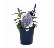 Comanda salvia albastra (Salvia farinacea) - Flori de gradina de vanzare, pret avantajos